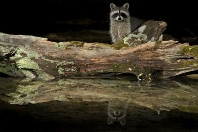 hendricks06_rosetta_northern_raccoon