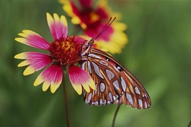 vestal06_block_butterfly_firewheel