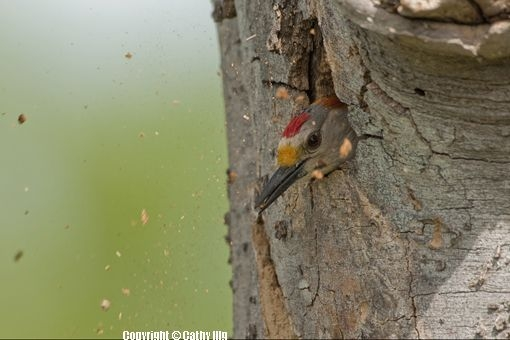 Golden-fronted woodpecker, Maverick County, TX