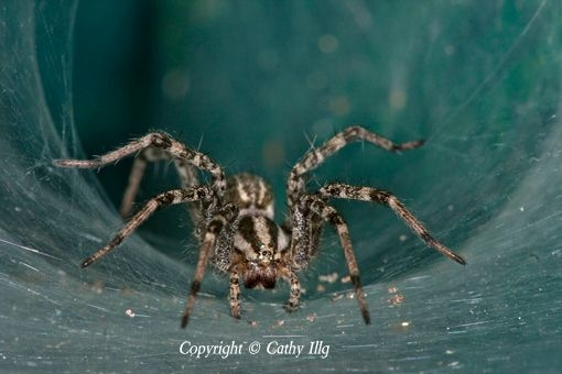 Spider, Maverick County, TX