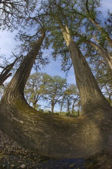 Bald Cypress - © Al Perry