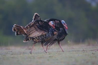 Male Wild Turkeys - © Al Perry