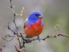 Male Painted Bunting - © Al Perry