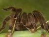 Texas Tan Tarantula - © Al Perry