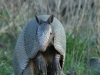 Nine-banded Armadillo - © Cathy Illg