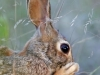 Eastern Cottontail - © Cathy Illg