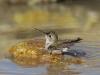Female Black-chinned Hummingbird - © Cathy Illg