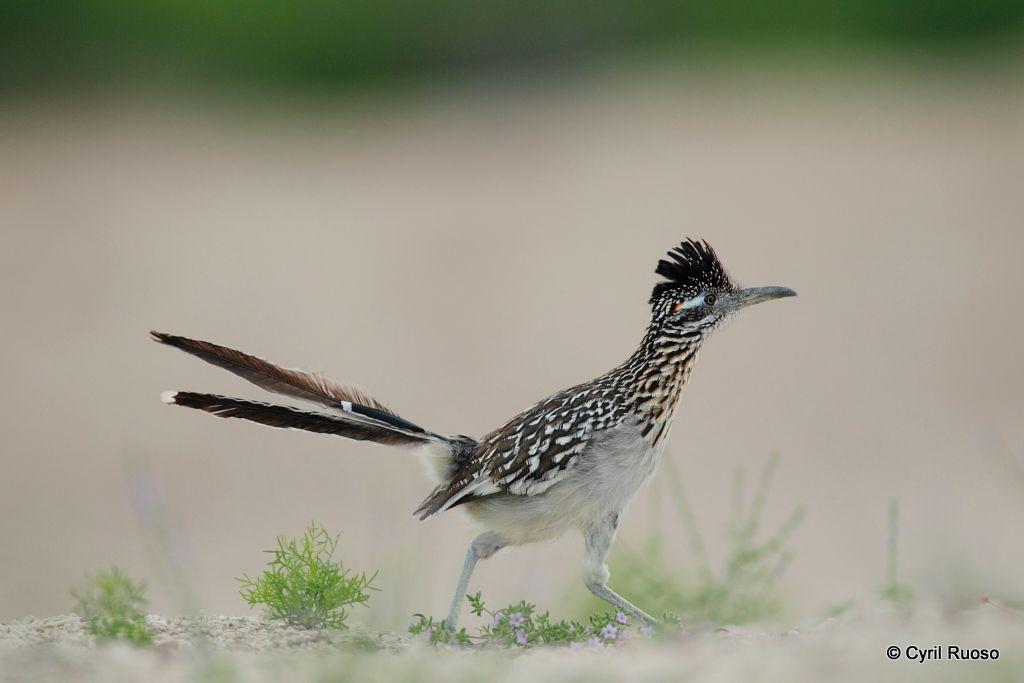 Greater roadrunner / Geococcyx californianus
