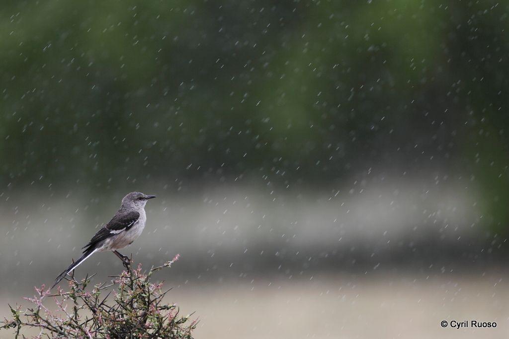 Northern mocking bird / Mimus polyglottos