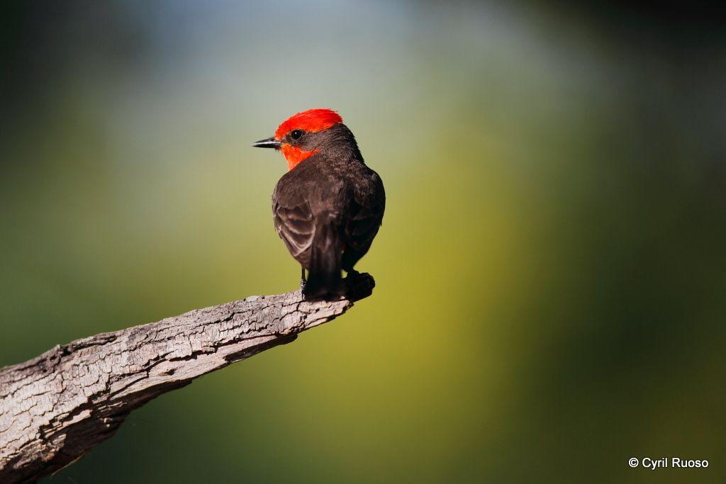 Vermillon flycatcher / Pyrocephalus rubinus