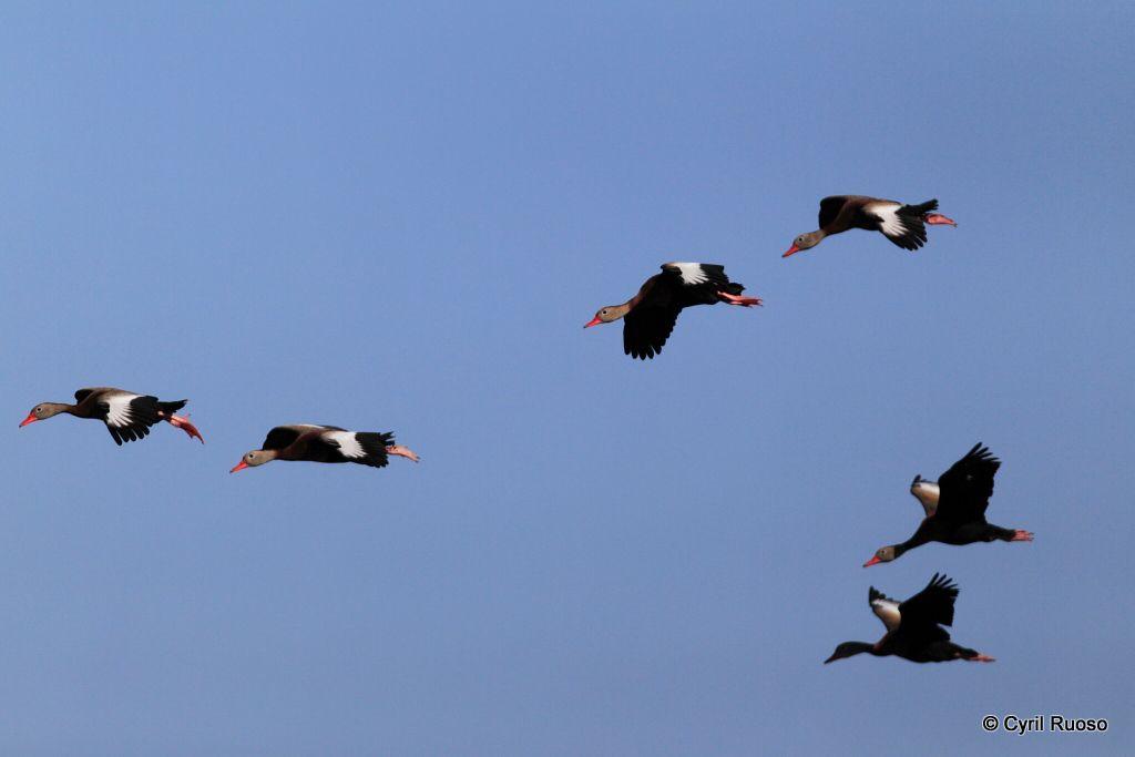 Black-bellied Whistling-duck / Dendrocygna autumnalis