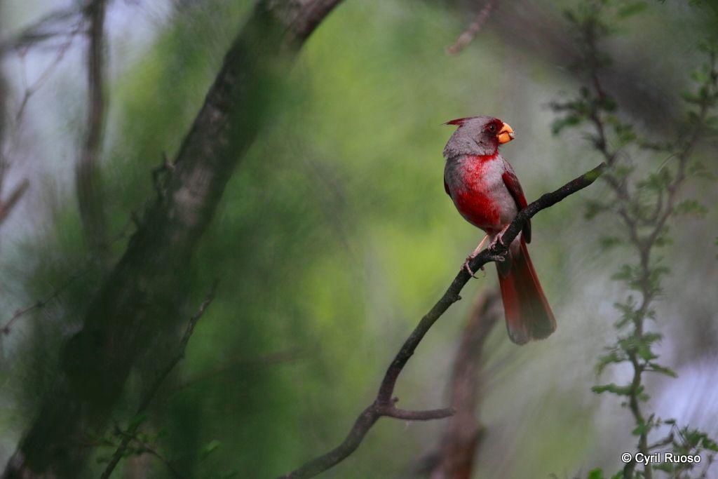 Pyrrhuloxia / Cardinalis sinuatus