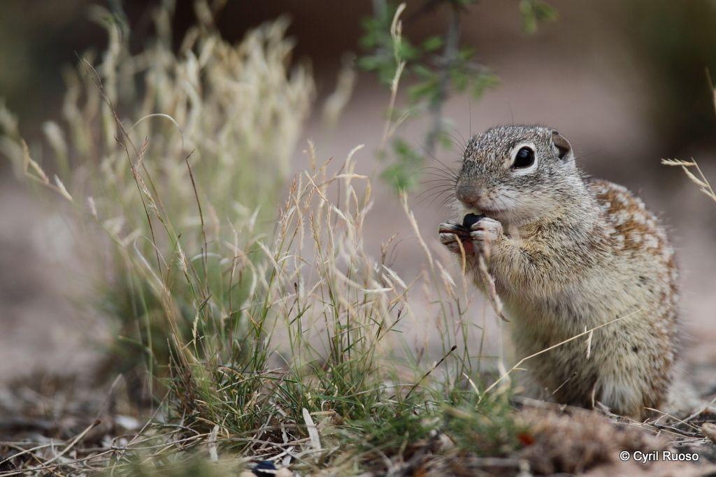 Mexican ground squirrel / Spermophilus mexicanus