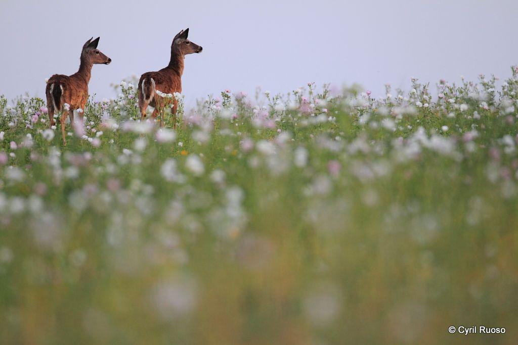 White-tailed deer / Odocoileus virginianus