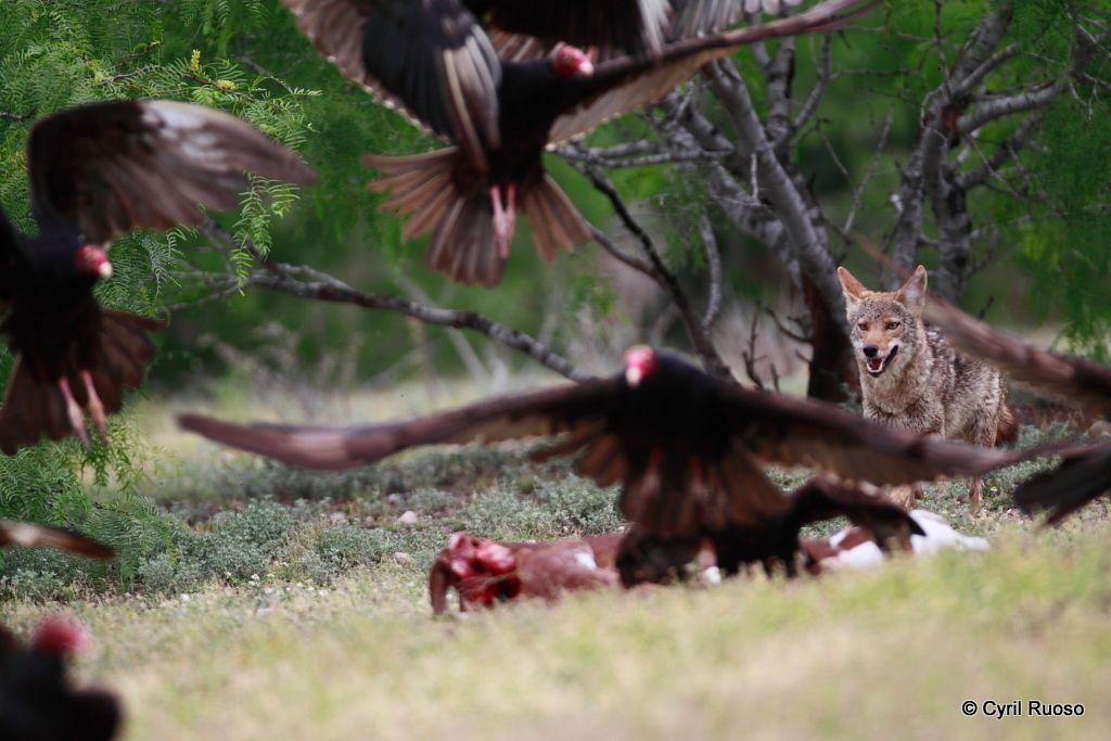 Coyote / Canis latrans