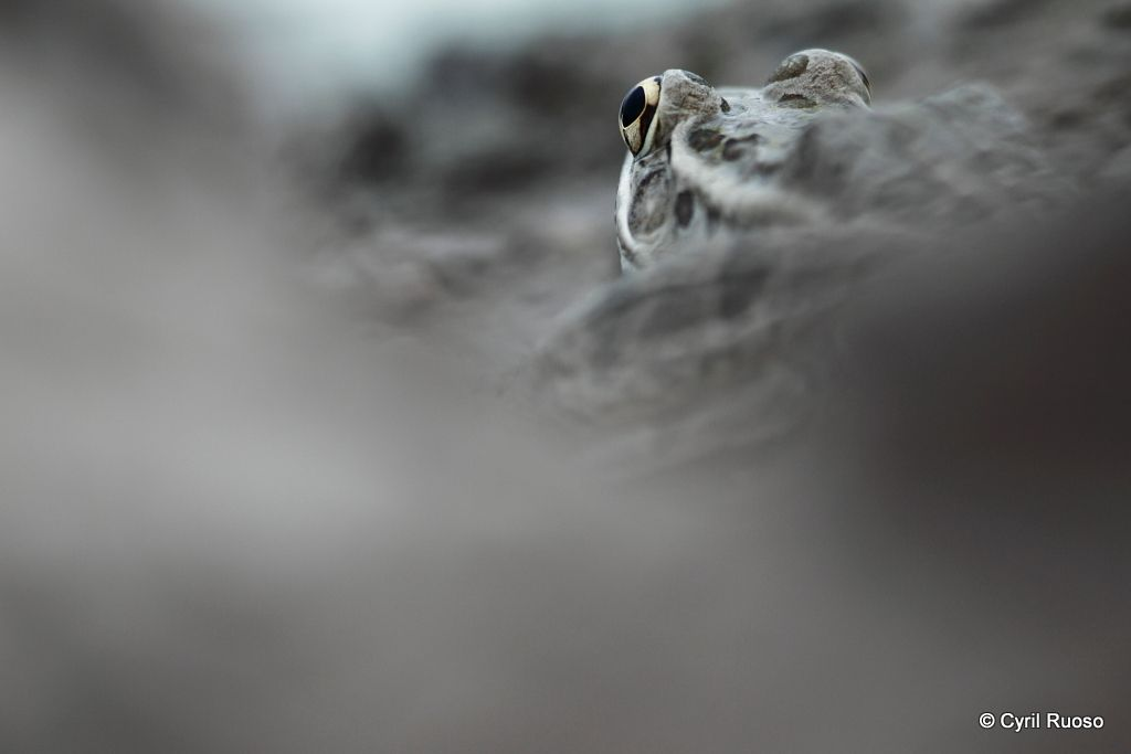 Rio grande leopard frog / Rana berlandieri