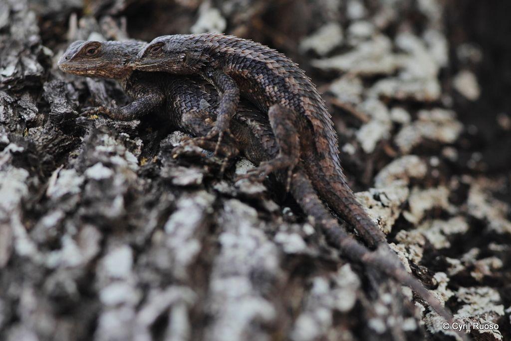 Texas spiny lizard / Sceloporus olivaceous