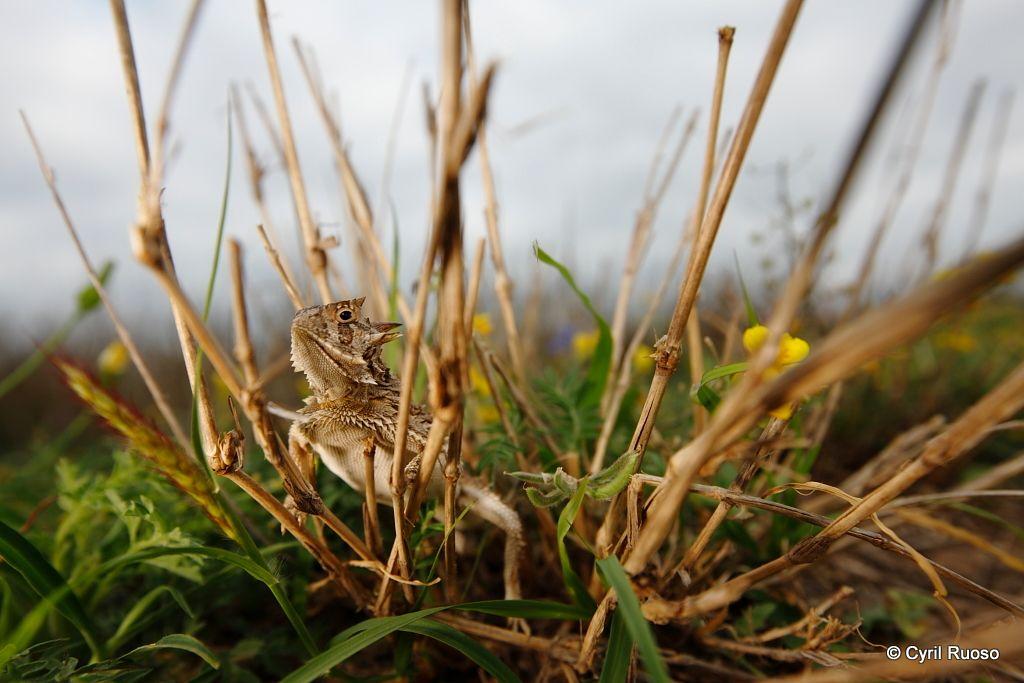 Texas horned lizard / Phrynosoma cornutum