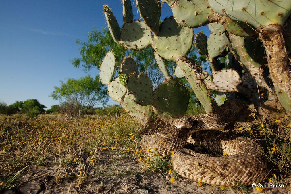 Western diamondback rattlesnake / Crotalus atrox