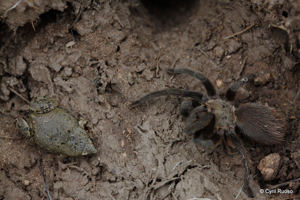 Great plains narrowmouth toad / Gastrophryne olivacea and Tarantula / Aphonopelma sp