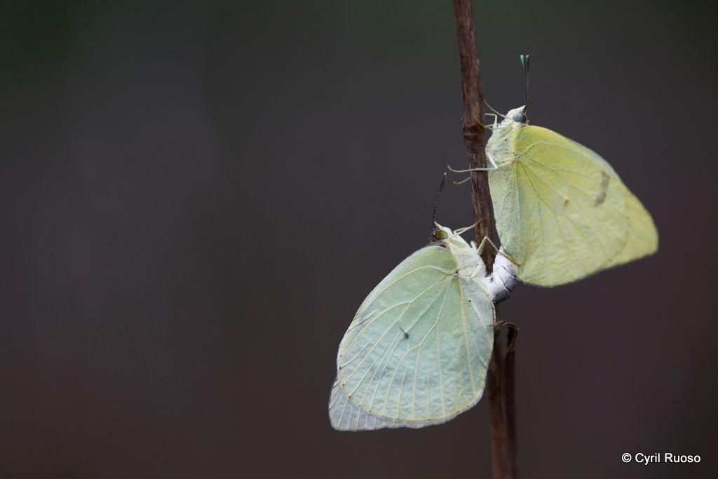 Lyside sulfur butterfly / Kricogonia lyside