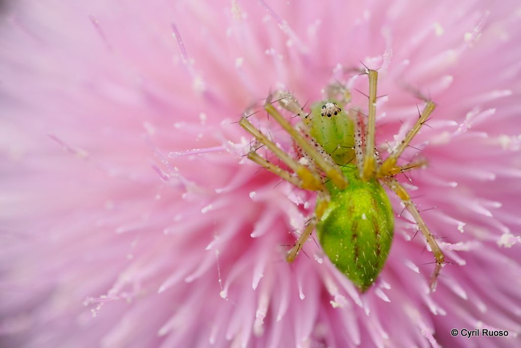 Green lynx spider / Peucetia viridans