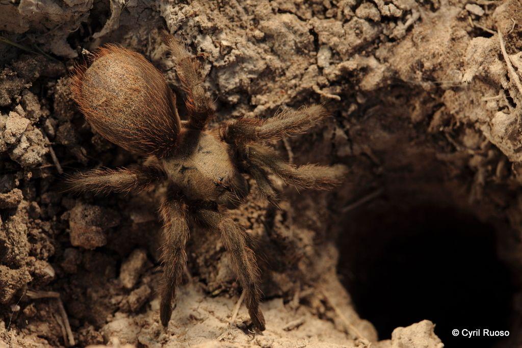 Tarantula / Aphonopelma ssp