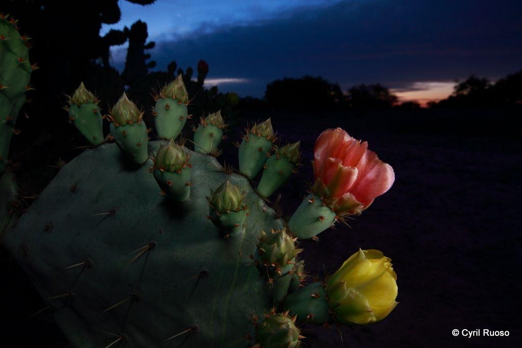 Prickly pear cactus / Opuntia lindheimeri