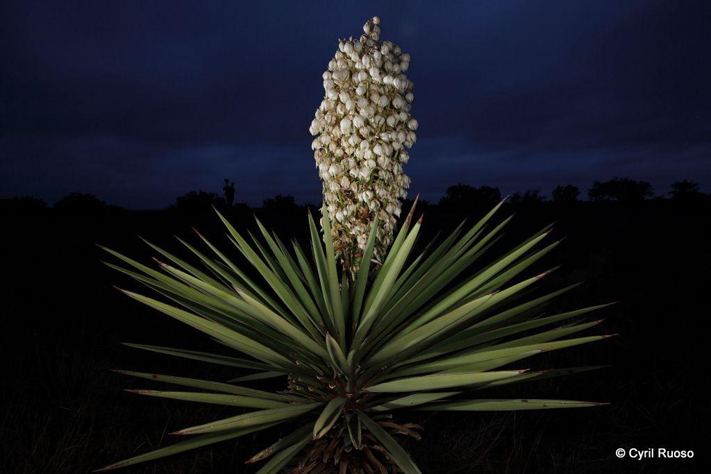 Yucca / Yucca torreyi