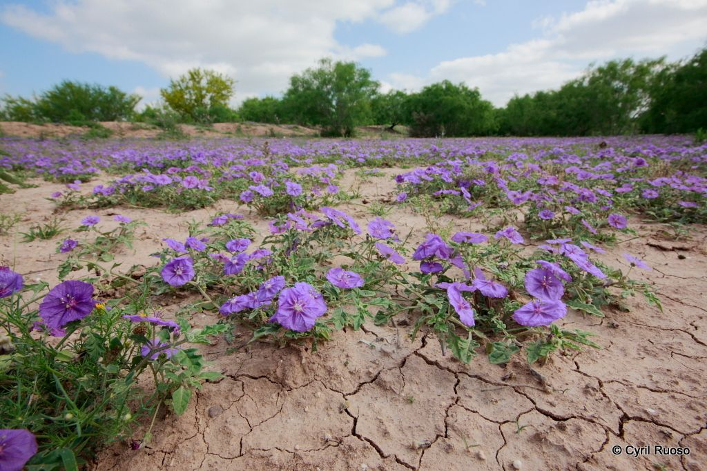 Purple ground cherry  / Quincula lobata