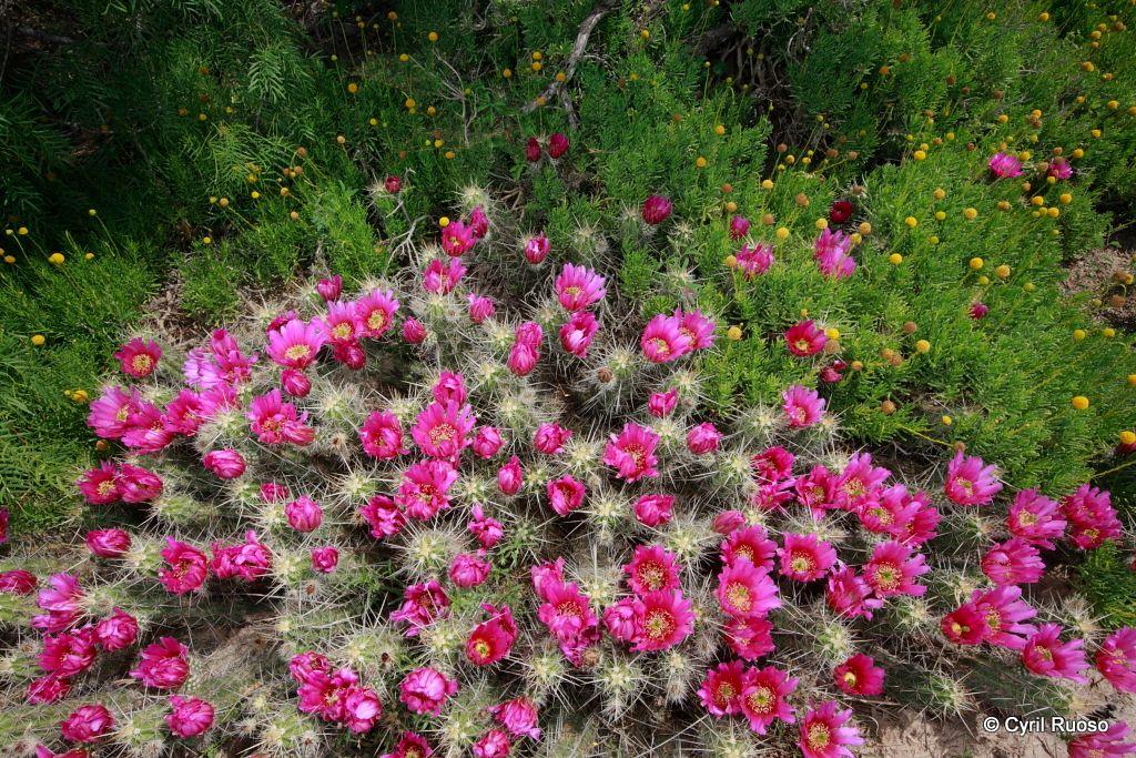 Strawberry cactus / Echinocereus enneachanthus