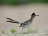 Greater roadrunner / Geococcyx californianus
