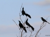 Great tailed Grackle / Quiscalus mexicanus