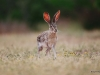 Black-tailed Jackrabbit / Lepus californicus