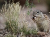 Mexican ground squirrel / Spermophilus mexicanus