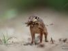 Spotted ground squirrel / Spermophilus spilosoma
