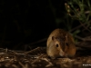 Hispid pocket mouse / Chaetodipus hispidus