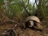 Gopher tortoise / Gopherus berlandieri