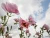 White prickly poppy / Argemone albiflora