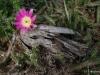 Ladyfinger cactus  / Echinocereus pentalophus