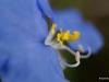 Day flower / Commelina erecta