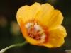 Flax / linum rigidum