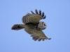 Barred Owl - © Dale R. Franz