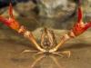 Crayfish - © Dale R. Franz
