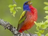 Painted Bunting - © Dale R. Franz