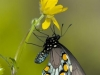Swallowtail on Buttercup - © Dale R. Franz