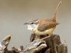 Carolina Wren - © Dave Welling
