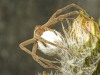 Female Nursery Spider - © Dave Welling