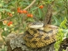 Texas Rat Snake - © Dave Welling