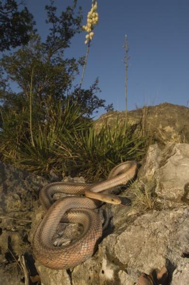 schulz_krause_rat_snake